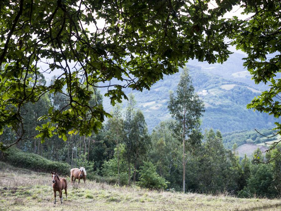 Un roble, un valle, unos caballos. Muy astur. asturias luz10 pedro ivan ramos martin